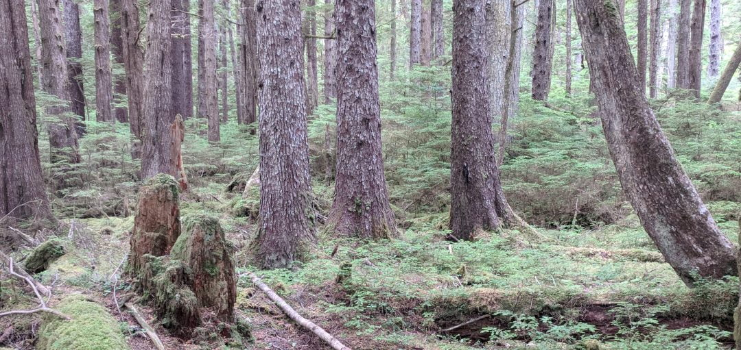 ferns and tree trunks of forest Haida Gwaii